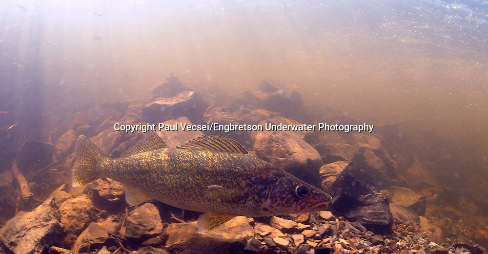 Walleye <br /> <br /> Paul Vecsei/Engbretson Underwater Photography