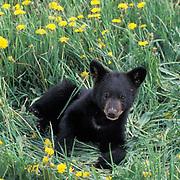 Black Bear, (Ursus americanus) Cub in field of dandelions. Spring. Montana.  Captive Animal.