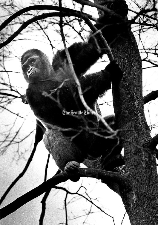 Kiki does his thing high in a tree at the Woodland Park Zoo. (Barry Wong / The Seattle Times, 1979)