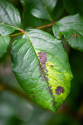 Rose black spot on foliage - Diplocarpon rosae