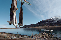 Hengt tørrfisk - Fish hung for drying