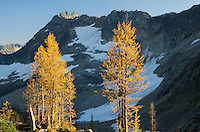 Subalpine Larch (Larix lyallii) and Corteo Peak, North Cascades Washington