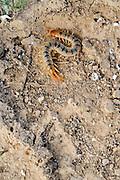 Centipede (Scolopendra) a venomous night predator. Photographed in Israel in December