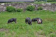 hog farming at Schluhuwanapark, Grafenhausen, State Park , black forest, Germany