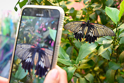 "© Licensed to London News Pictures. 05/09/2019. LONDON, UK. A visitor takes a photo at a ""Butterfly Biosphere"" in Grosvenor Square, Mayfair.  Setup by Bompas and Parr in association with King's College London and Butterfly Conservation, the aim is to make visitors more aware of the importance of pollinators and the ecosytem that the capital's 50 species of butterfly need to thrive.  The biosphere is open 5 to 15 September.  Photo credit: Stephen Chung/LNP"