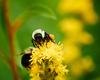 Bumble Bee with Orange Pollen Saddlebags on Blooming Ragweed. Summer Nature in New Jersey at the Sourland Mountain Preserve. Image taken with a Nikon 1 V2 +  FT1 + 70-300 mm VR lens (ISO 500, 300 mm, f/8, 1/500 sec). [FOV Equivalent to ~ 810 mm on a 35 mm image sensor].
