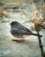 Dark-eyed Junco. Image taken with a Nikon D5 camera and 600 mm f/4 VR lens (ISO 1600, 600 mm, f/4, 1/500 sec).