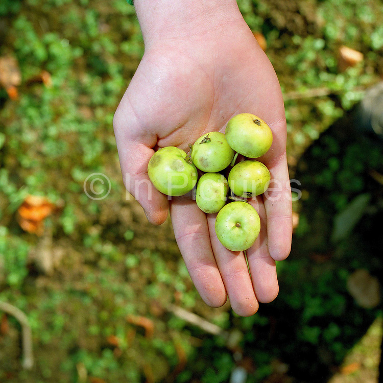 The hands of a conservation volunteer holding crab apples gathered from the hedgerows around the Castle Howard Estate in North Yorkshire, UK. The seeds will be planted and grown on at the Estate's arboretum and eventually planted out to make more trees and hedges in the Howardian Hills. Castle Howard Estate is in the Howardian Hills AONB, a landscape with well-wooded rolling countryside, patchwork of arable and pasture fields, scenic villages and historic country houses with classic parkland landscapes.