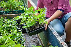 Hardening off young runner beans by putting them in a coldframe. Phaseolus coccineus