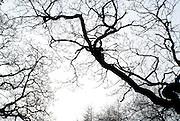 Bare Oak on white