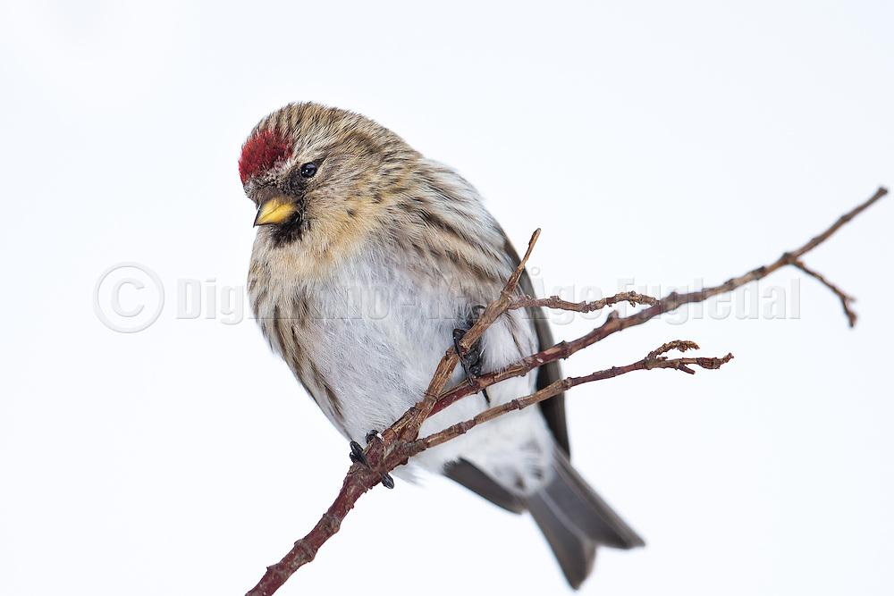 Common Redpoll on a branch | Gråsisik på en gren.