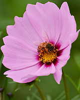 Honey Bee on a Cosmos flower. Image taken with a Nikon 1 V3 camera and 70-300 mm VR lens.