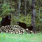 Black Bear, (Ursus americanus) Minnesota, sow with three cubs on wood pile near edge of woods.