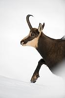 11.11.2008.Chamois (Rupicapra rupicapra). Walking. Portrait..Gran Paradiso National Park, Italy