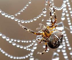 October 10, 2018 - Roseburg, Oregon, U.S - A spider hangs on its dew drop encrusted web in a pasture on a hillside near Roseburg in rural western Oregon. (Credit Image: © Robin Loznak/ZUMA Wire)