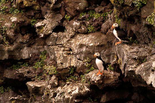 Horned Puffin (Fratercula corniculata) In breeding plumage, pair resting on rocky cliff. St. Paul, Pribilof Islands. Alaska.