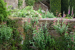 Self sown Valerian growing on the walls at Snowshill Manor. Centranthus ruber
