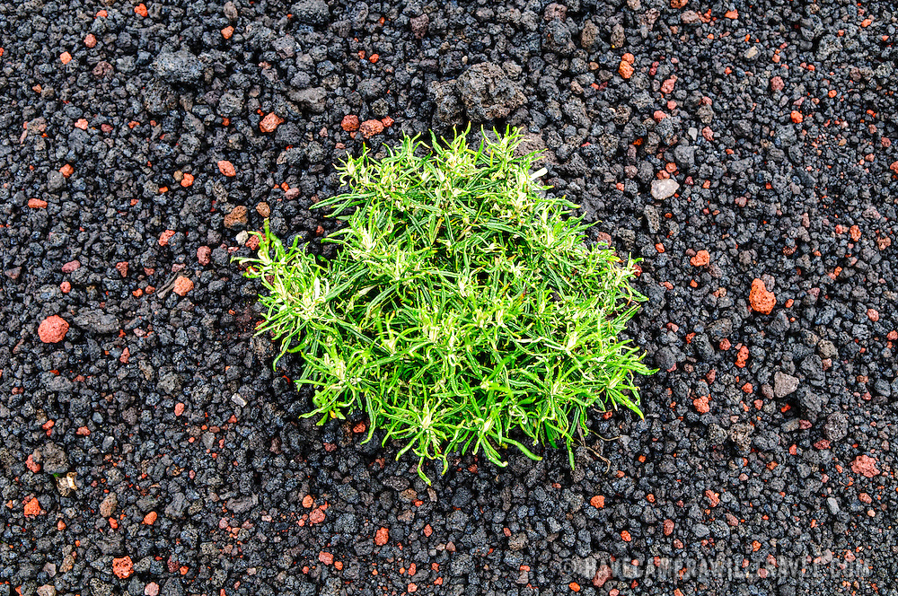 A plant manages to grow in the thick layer of volcanic gravel near the summit of Pacaya Volcano. Pacaya is an active volcano that forms part of the Central America Volcanic Arc. It forms a popular tourist destination easily accessible from Antigua and Guatemala City. Situated within the Pacaya National Park, it rises to 2,552 metres (8,373 ft). Its last major eruption, which caused considerable damange to nearby villages and reshaped the summit, was in May 2010. That eruption and scattered volcanic ash over much of the nearby area, prompting school closings and emergency evacuations and cleared much of the vegetation near the top of the mountain.