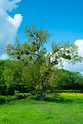 Mistletoe, Viscum album - popular at Christmas - a hemiparasite growing in likely a Black Poplar host tree in Gloucestershire, UK