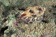 cone shell, Conus sp., hunting at night,<br /> Mabul Island, off Borneo, Sabah,<br /> Malaysia ( Celebes Sea )