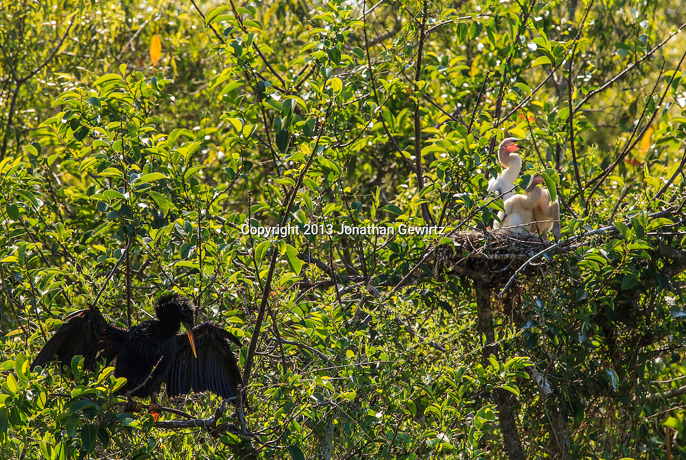An adult Anhinga (Anhinga anhinga) dries its wings in a tree along a canal in the Shark Valley Section of Everglades National Park, Florida, while in the background a trio of Anhinga chicks sit in their nest. WATERMARKS WILL NOT APPEAR ON PRINTS OR LICENSED IMAGES.