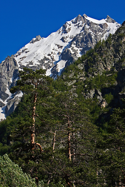 Russia, Caucasus, A forest of pine (Pinus) and snow covered mountain in Adylsu Valley, a saide valley to Baksan Valley and Elbrus.