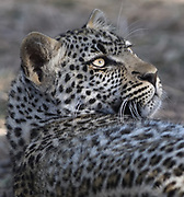 A  leopard (Panthera pardus) relaxes in the shade. Serengeti National Park, Tanzania.