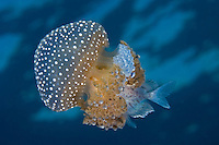 Juvenile Trevally taking Cover among the Tentacles of a Drifting Jelly