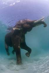 Rajan the Indian Elephant, Elephas maximus, who is retired from the logging industry, cavorts in shallow water at Beach #7, Havelock Island, Andaman Islands, Andaman Sea, India