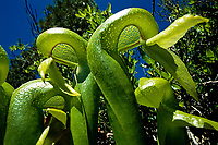 A patch of carnivorous cobra lilies growing in serpentine soil.