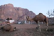 camels Rum village, Wadi Rum, Jordan