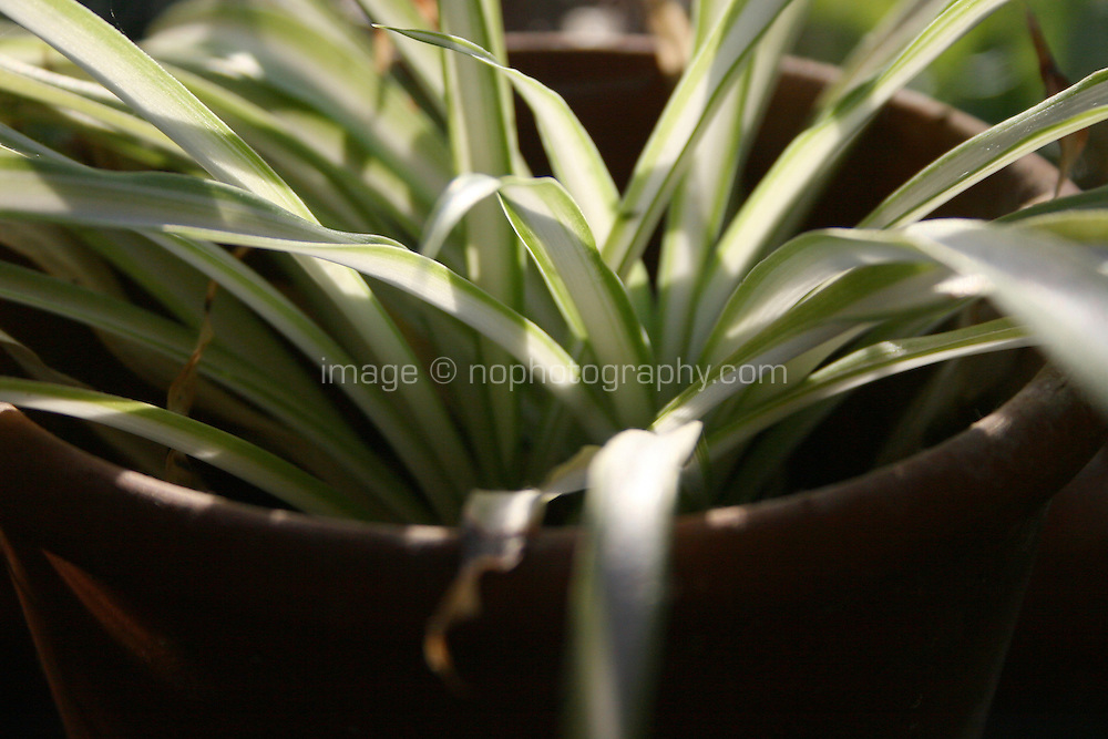 Close up of 'spider' indoor house plant