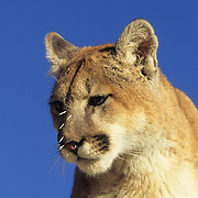 Mountain Lion (Felis concolor) portrait of a sub-adult with porcupine quills in its face. Captive Animal
