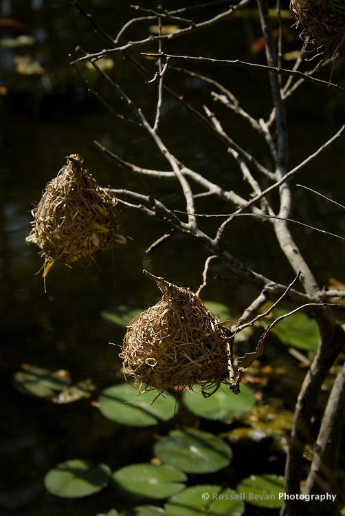 Two Weaver Bird nests