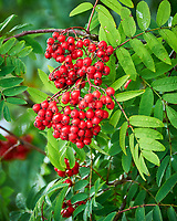 Red Berries in Wrangell Alaska. Image taken with a Nikon D300 camera and 70-300 mm VR lens.