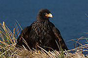 Striated Caracara or Johnny Rook (Phalcoboenus australis)<br /> Steeple Jason Island. FALKLAND ISLANDS.<br /> Usually quite tame and very curious towards man. Rarely take prey on the wing using instead its ability to run and grasp penguin chicks and eggs and small petrels with its powerful feet and claws. Also feed on insects, molluscs and carrion. Can survive during critical winter periods on excreta of Gentoo penguins and fur seals.  They nest on cliff edges, under large rock slabs or on the top of a tussock grass clump, often close to the seabird colonies on which they prey.<br /> RANGE: Falkland Islands where it is largely restricted to offshore tussock islands like Jason Island group, Beauchene and Sea Lion Island, Islets of Cape Horn and some islands off the south west coast of Chile as far north as Isla Tarlton.<br /> NEAR THREATENED due to small population and restricted range.<br /> Less than 1000 birds exist.
