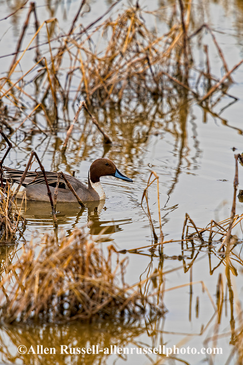 Northern pintail duck, Anas acuta, Whitewater Draw Wildlife Area, Arizona