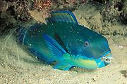 steephead parrotfish, Scarus microrhinos, asleep in mucos cocoon at night, Restorf Island, Kimbe Bay, Papua New Guinea ( Bismarck Sea )