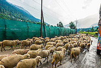 Herding sheep, Vale of Kashmir; Kashmir; Jammu and Kashmir State; India.