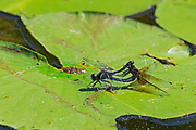 Dragonflies mating on lily pad<br />SIoux Narrows Provincial Park<br />Ontario<br />Canada