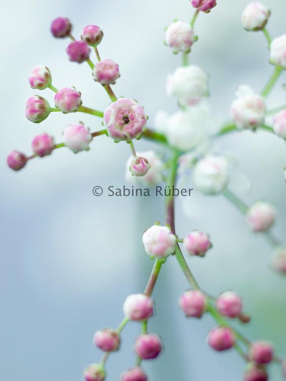 Filipendula vulgaris 'Flore Pleno' - meadowsweet