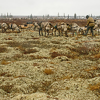 """North of the Arctic Circle in Russia, reindeer harnessed to a sled graze on vast fields of lichen from the genus Cladonia, (which abounds in the foreground in this image and is sometimes mistakenly called reindeer """"moss."""")"""