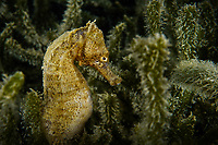 Yellow seahorse, Hippocampus kuda, also known as estuary seahorse, or spotted seahorse. The yellow seahorse is a fish and can reach a length of 17–30 cm. Hoi Ha Wan Marine Park, northeast coast, New territories, Hong Kong, China. This Image is a part of the mission Wild Sea Hong Kong (Wild Wonders of China).