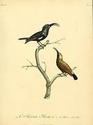Sucrier bronze [Sucrier bronzé] from the Book Histoire naturelle des oiseaux d'Afrique [Natural History of birds of Africa] Volume 6, by Le Vaillant, Francois, 1753-1824; Publish in Paris by Chez J.J. Fuchs, libraire 1808