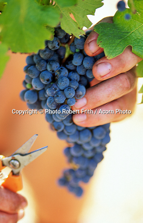 Close up of hand supporting a bunch of red wine grapes ready to cut them with a pair of secateurs
