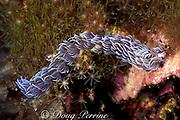 blue dragon nudibranch, or sea slug, <br /> Pteraeolidia ianthina, farms algae with <br /> cerata to produce food, Gato Island <br /> Marine Reserve, off Cebu Island, Philippines