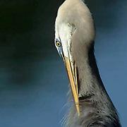 Great Blue Heron, (Ardea herodias) Portrait of adult preening self . Florida.