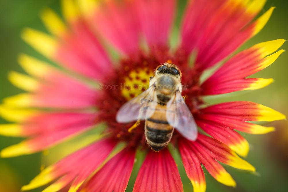 Honeybee on fire wheel wildflower (Gaillardia pulchella), Big Spring historical and natural area, Great Trinity Forest, Dallas, Texas, USA