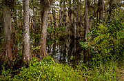 swamp with trees, water and green foliage and small clearing