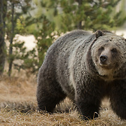 Grizzly bear (Ursus arctus horribilis) in Yellowstone National Park.